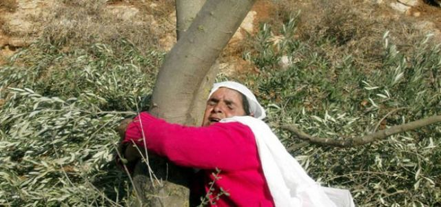 Jewish settlers cut down  olive trees